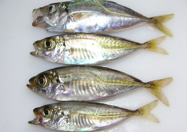 釣りの初心者におすすめの魚