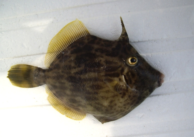 東京湾・剣崎で釣れる魚